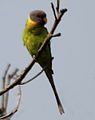 Plum-headed Parakeet (Psittacula cyanocephala) in Hyderabad W IMG 4753.jpg
