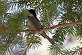 Poecile sclateri, Rustler Park, Arizona 3.jpg