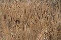 Poertschach Hans-Pruscha-Weg Park Typha angustifolia 06032016 2842.jpg