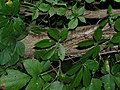 Poison Ivy and Grape Vines.JPG