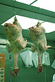 Pollos.JPG
