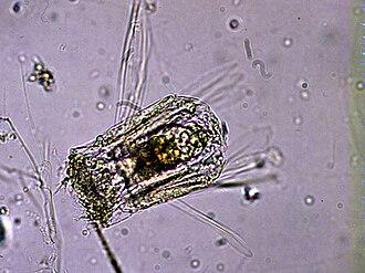 Monogononta - Polyarthra