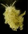 Polybranchia orientalis.png