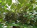 Polyscias hawaiensis (5209552449).jpg