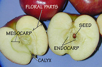 Pome - An apple is a pome fruit. The parts of the fruit are labelled.