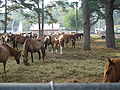 Pony Penning 2008 in Chincoteague 002.jpg