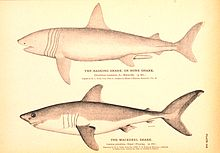 "Monochromatic drawings of two sharks, one labeled ""the basking shark, or bone shark – Cetorhinus maximus"", and the other ""the mackerel shark – Lamna cornubica"""