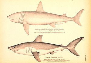 English: Plate 249. The Basking Shark, or Bone...