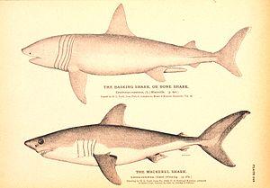 English: Plate 249. The Basking Shark, or Bone...