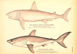 Flora and fauna of Cornwall - A basking shark and a porbeagle