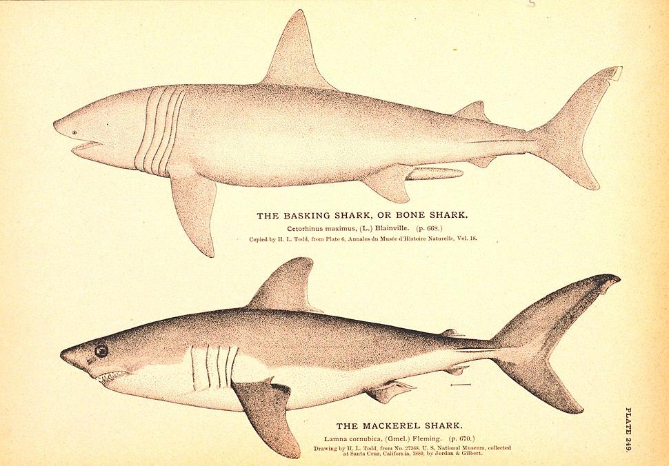 "Monochromatic drawings of two sharks, one labeled ""the basking shark, or bone shark– Cetorhinus maximus"", and the other ""the mackerel shark– Lamna cornubica"""