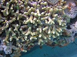 Porites porites furcata (branched finger coral) (San Salvador Island, Bahamas) 5 (15907195877)