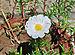 Portulaca grandiflora, Burdwan, 30032014 (8).jpg