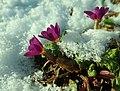 Primula juliae 2019-01-03 5249.jpg