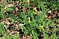 Primula veris in natural monument Kalamandra in spring 2012 (2).JPG