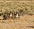Pronghorn in Canyonlands National Park.jpg