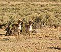 Pronghorn in Canyonlands National Park.jpg