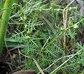 Proserpinaca pectinata Tennessee.jpg