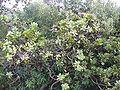 Protea roupelliae.JPG