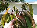 Prunus cerasus sick 02.jpg