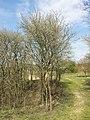 Prunus domestica s. lat. sl17.jpg