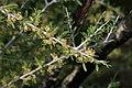 Prunus fasciculata 7792.JPG