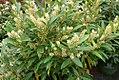 Prunus laurocerasus Schipkaensis 1zz.jpg
