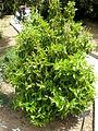 Prunus lusitanica 1c.JPG