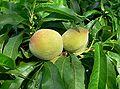 Prunus persica Bonanza fruit.jpg