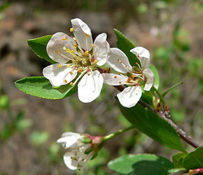 Description de l'image Prunus subcordata 2.jpg.