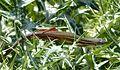 Psammadromus algirus .... sunbathing - Flickr - gailhampshire.jpg