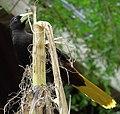 Psarocolius decumanus -Lowry Park Zoo, Tampa, Florida, USA-8a.jpg