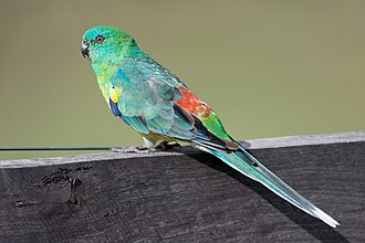 Red-rumped parrot - Male in New South Wales, Australia
