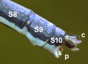 Damselfly - Terminal segments of the abdomen of a male damselfly (Pseudagrion caffrum) showing segments 8–10 (S8, S9, S10), the upper or superior appendages or cerci (c) and the inferior appendages or paraprocts (p)