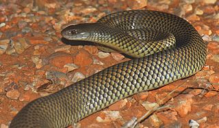 King brown snake Highly venomous snake native to Central and northern Australia
