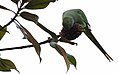 Psittacula krameri 02.jpg
