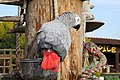 Psittacus erithacus -The Parrot Zoo, Friskney, Lincolnshire, England-8a.jpg