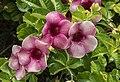 Purple Alamanda-1 (24665922285).jpg