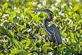 Purple Heron - Ankarafantsika - Madagascar S4E9540 (15297366912) (2).jpg