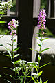 Purple Loosestrife (Lythrum salicaria) - Saratoga Springs, New York.jpg