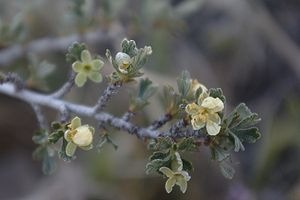 Purshia tridentata flowers1.jpg
