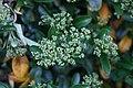 Pyracantha Mojave 0zz.jpg