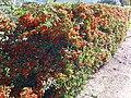 Pyracantha coccinea 2009November22 DehesaBoyaldePuertollano.jpg