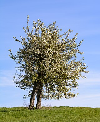 Old pear tree (Pyrus communis L.) with broken trunk in full bloom