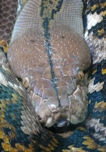 Reticulated Head