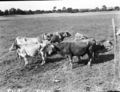Queensland State Archives 1697 Cattle Graceville Brisbane c1952.png