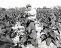 Queensland State Archives 4238 Tobacco plants before topping 1933.png