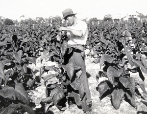 History of tobacco - A tobacco plantation in Queensland, in 1933.