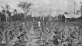 Queensland State Archives 4254 Tobacco farming at Beerburrum 1933.png