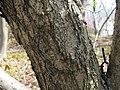 Quercus mongolica var grosseserrata1.jpg
